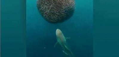 Köpekbalığı dev balık küresinin içine böyle daldı!