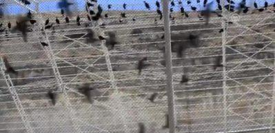 Koruma altındaki kelaynaklara 65 yavru katıldı
