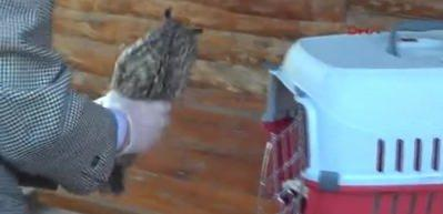Kulaklı orman baykuşu tedavi altında