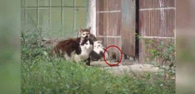 Lağım faresi kedilere saldırdı