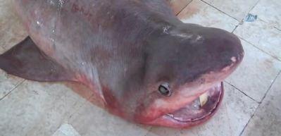 Mersin'de 400 kiloluk köpek balığı yakalandı