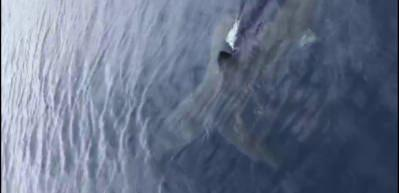Nesli tükenmekte olan Mako cinsi köpek balığı Ege'de görüldü
