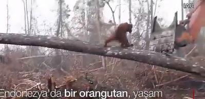 Orangutan kepçenin önüne çıktı!