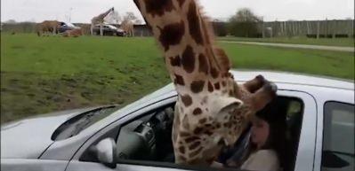 Otomobilin camı zürafanın başında parçalandı!