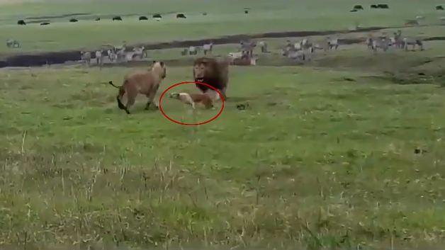 Aslanlara saldıran cesur köpek