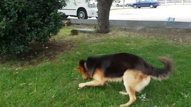 Bu köpek yetenekleriyle şaşırtıyor