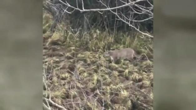 Dağ aslanı ava giderken avlandı!