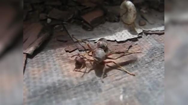 Eşek arısı, kopan kafasını alıp uçtu!