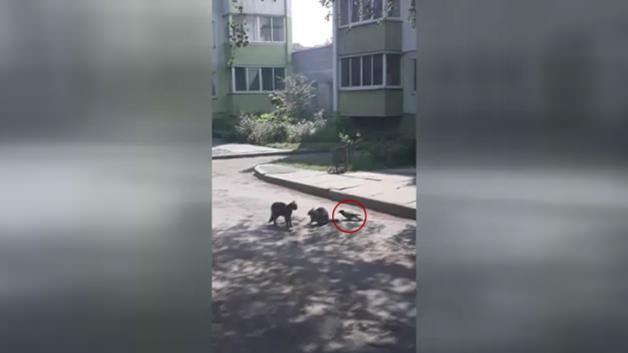 Kedileri birbirine düşüren karga