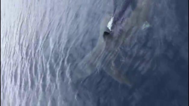 Mako cinsi köpek balığı Ege'de görüldü