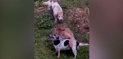 Puma, köpeği ensesinden yakaladı ve...