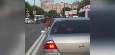 Rusya'da akılalmaz olay Kaplan otomobilden atladı