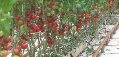Rusya'ya ihraç edilen domates geri dönmeyecek