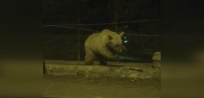 Sarıkamış'ta ayının tel örgüden geçme yöntemi şaşırttı