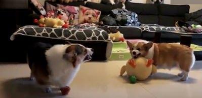 Sevimli köpeklerin gülme krizine sokan tartışması