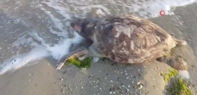 Silivri'de ölü caretta caretta kıyıya vurdu