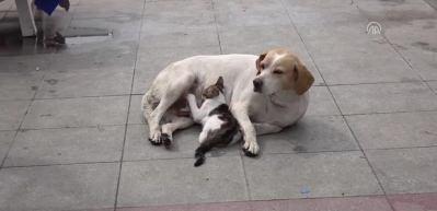 Sokak köpeği emzirdiği kedi yavrusuna annelik yapıyor