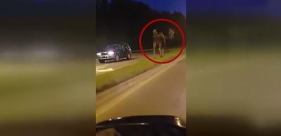 Sürücüleri şaşkına çeviren dev geyik