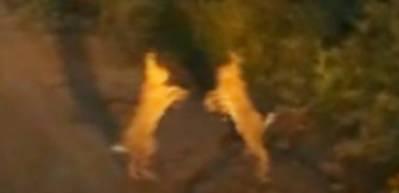 Tavşanların kavgası kamerada
