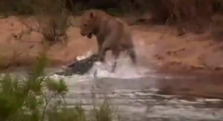 Aslan timsaha yem olmaktan son anda kurtuldu