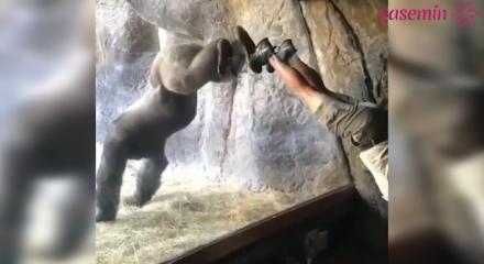 Bakıcısıyla oyun oynayan Goril sosyal medyada fenomen oldu