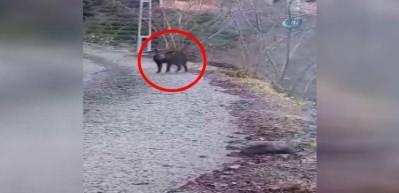 Trabzon'da köye inen yaban domuzu böyle vuruldu!