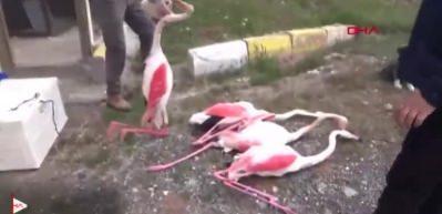 Vicdansızlar! Tüfekle 4 flamingoyu öldürdüler
