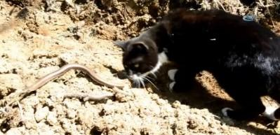 Yavru kedinin yılanla imtihanı