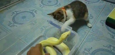 Yılana tokat atan kedi