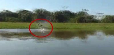 Yunuslar, elektrikli yılan balığıyla karşılaşınca...