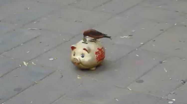 Topladığı paraları kumbaraya atan kuş şaşırtıyor
