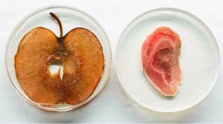 Elma diliminden kulak yapıldı