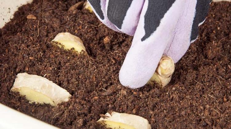 Evde zencefil nasıl yetiştirilir?