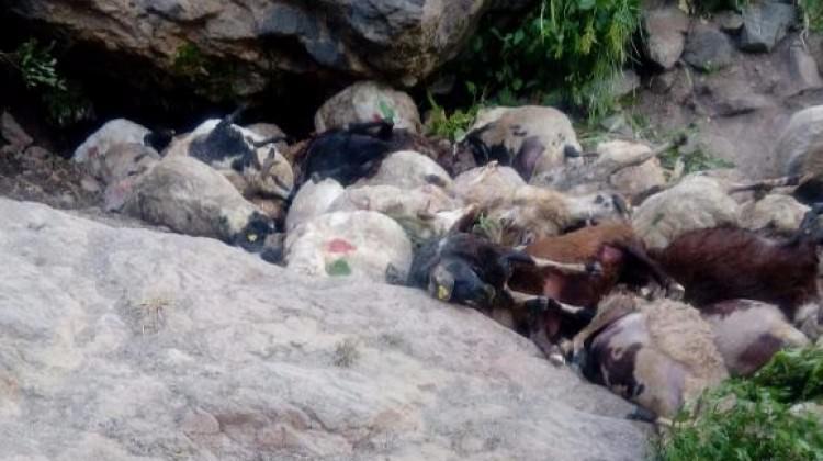 Bir koyun atlayınca 80 tanesi arkasından atladı!