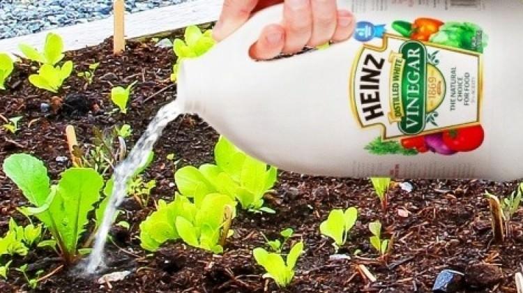 Bitkilerinize sirke dökerseniz...