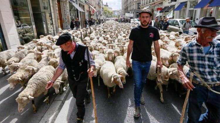 İlginç protesto: Koyunlar kurtlara karşı yürüdü