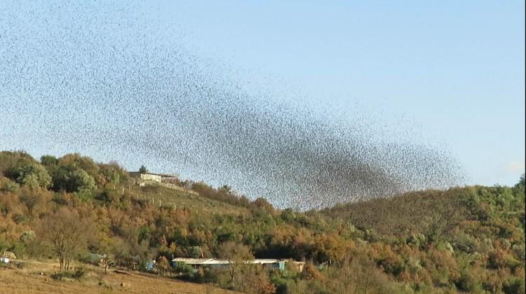 Binlerce sığırcık kuşu gökyüzünde böyle dans etti