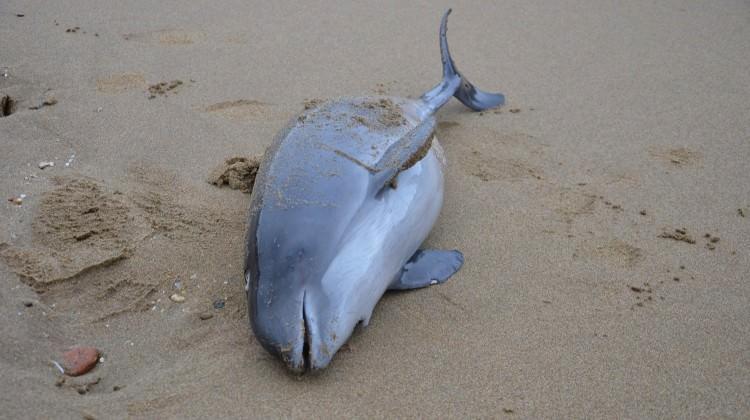 Sinop'ta korkunç görüntüler! Yunuslar sahile vurdu
