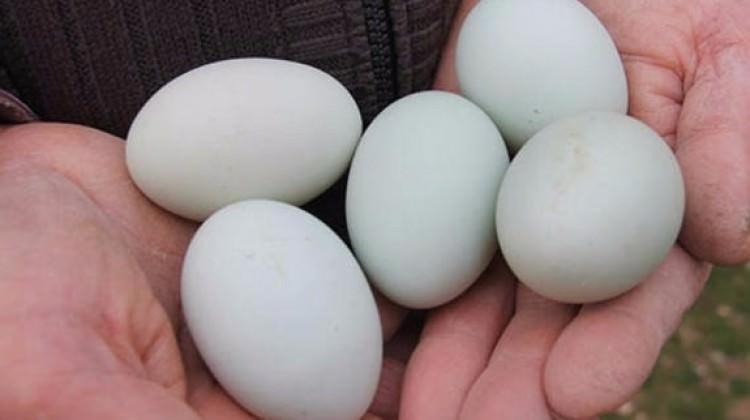 Mavi yumurtaları gören şaşırıyor!