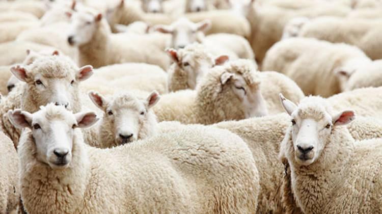 TİGEM 300 koyun başvuruları başladı! 300 koyun başvuru şartları neler?