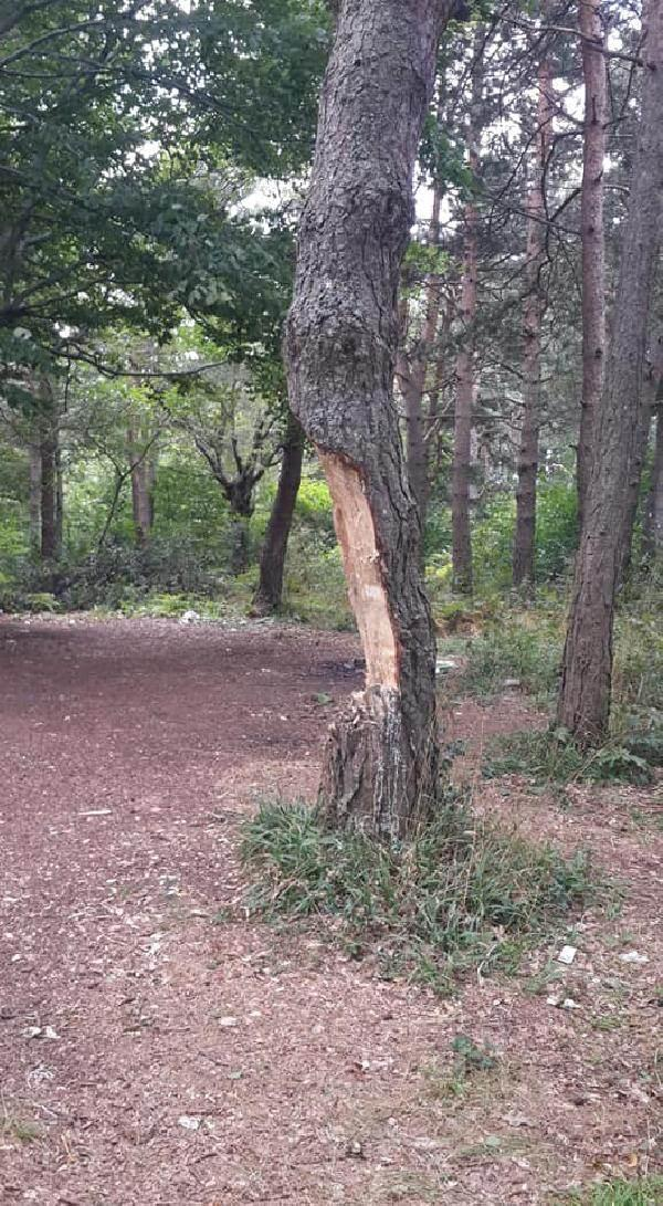 Ağaçları bu halde görenler şok oldu