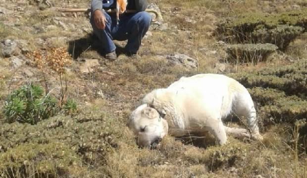 6 çoban köpeğini böyle katlettiler