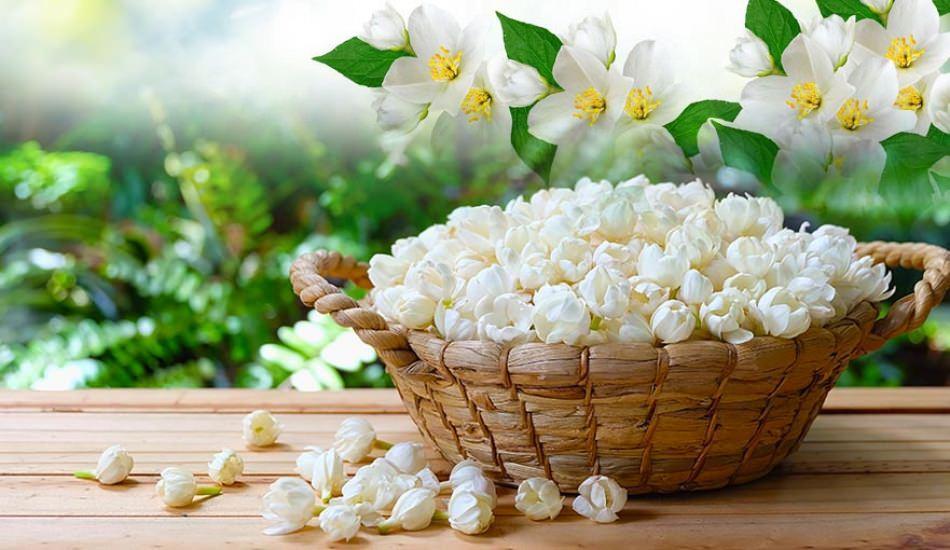 Yasemin çiçeği evde nasıl yetişir?