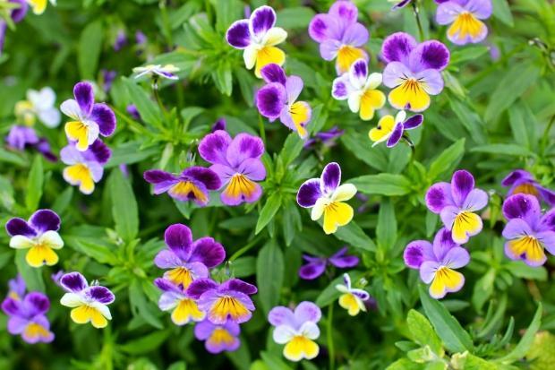 Hercai çiçeğinin faydaları