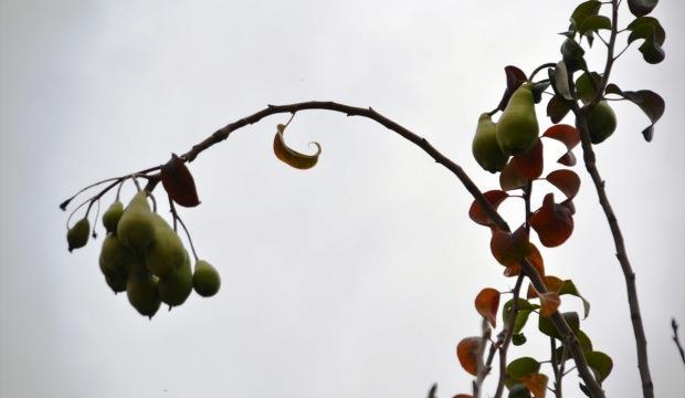 Armut ağacı aralık ayında da meyve veriyor