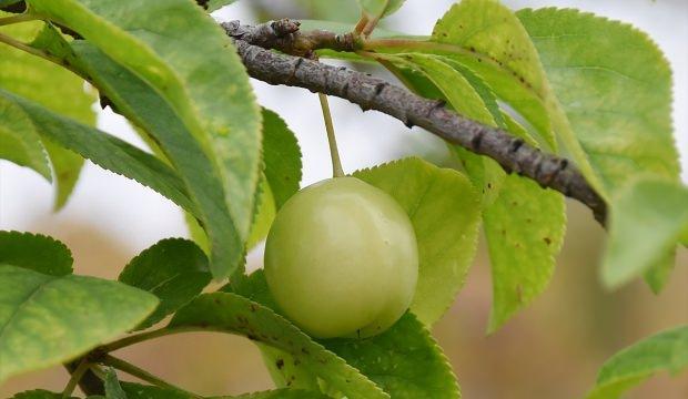 Manisa'da aralık ayında erik ağaçları meyve verdi