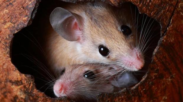 rüyada fare görmenin tabiri