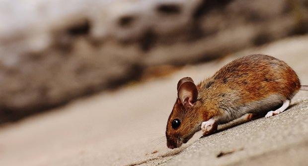 rüyada fare görmek ne anlama gelir