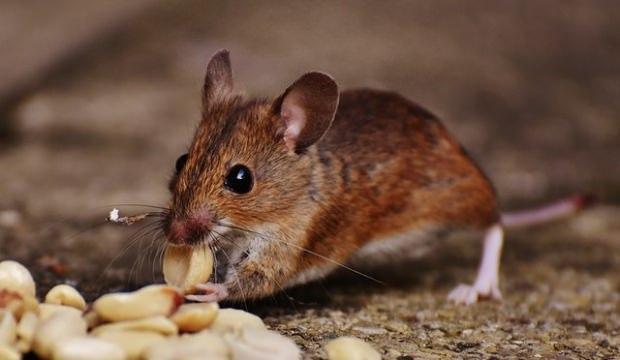 Rüyada fare görmek nasıl yorumlanır? Rüyada fare görmenin tabiri nedir?