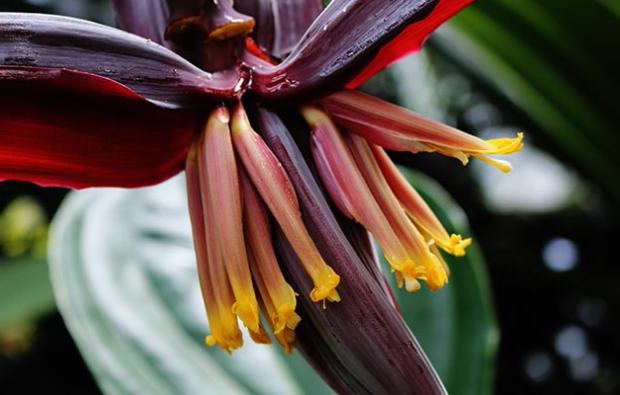 Muz çiçeğinin faydaları nelerdir Yoğurtla beraber muz çiçeği yerseniz 34